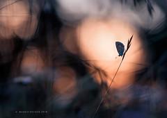 Bläuling im letzten Licht. (Markus1224) Tags: schmetterling butterfly bläuling sonnenuntergang sunset nikon d750 lycaenidae blue makro macro badenwürttemberg germany schwäbische alb bokeh colours minimalism