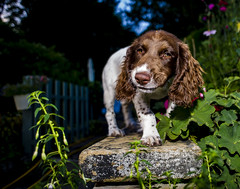 He's getting use to this camera lark ! (TrevKerr) Tags: dog dogportrait gundog puppy pup spaniel springer springerspaniel englishspringerspaniel nikon d3s nikon24mmf28d nikonsb900