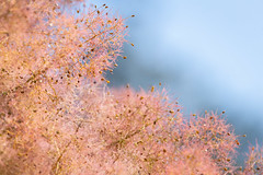Fuzzy Tree (josullivan.59) Tags: 2018 artistic august bc britishcolumbia canada canon6d dof tamron150600 vancouverisland victoria abstract backlit blue blur clear day detail evening garden nature orange outdoor outside pink red summer telephoto texture trees wallpaper