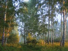 August. Birch forest. (arthurverigin) Tags: siberia forest morning birch russia grove mist summer august