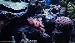 Minnesota Zoo (Lzzy Anderson) Tags: minnesota unitedstates us applevalley minnesotazoo zoo animals fish aquarium neon water underwater discoverybay reef tropicalreef