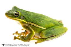 American green tree frog (Hyla cinerea) 20180708_2335 (Abbott Nature Photography) Tags: animals amphibiansamphibia frogsandtoadsanura hylidaetruefrogs neobatrachia organismseukaryotes photography technique vertebratavertebrates whiteseamlessbackground gordo alabama unitedstates us