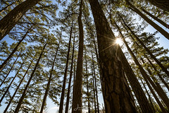 Forest (Wits End Photography) Tags: trees nature hiking sky evergreentrees lookingup upwards statepark bluesky blue clear cloudless landscape outdoor plant rise rising sunny tree up