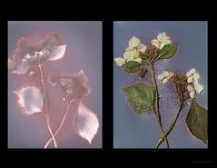 Hydrangea diptych (julesnene) Tags: california flower hydrangea juliasumangil sunprint alternativephotography backyard flora julesnene lumen lumenart lumenprint photogram kodakpanalure
