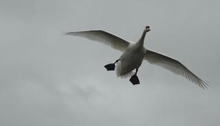 Incoming Mute Swan