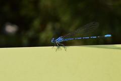 Denver Botanic Garden   2018.08.07   DSC_0285 (Kaemattson) Tags: denverbotanicgarden denver co colorado denverbg denvergarden garden august summer milehighcity dragonfly