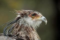 Secretarybird after the rain (K.Verhulst) Tags: secretarisvogel secretarybird vogels vogel birds bird blijdorp blijdorpzoo diergaardeblijdorp