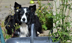 So Thoughtful... (ASHA THE BORDER COLLiE) Tags: inspirational quote animal welfare thoughtful border collie picture with caption ashathestarofcountydown connie kells county down photography