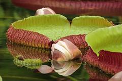 Victoria amazonica (K.Verhulst) Tags: blijdorp victoriaamazonica victoriawaterlelie plant waterlelie waterplants amazonica lelie diergaardeblijdorp flowers bloemen natuur nature coth5