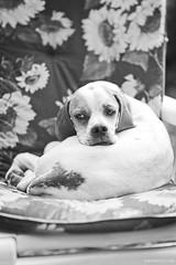 Angie (Sven Evertz) Tags: httpsdeutschgriechischertierschutzvereinde hunde mischlingshunde bw schwarzweiss sonya7iii sony8518