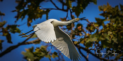Egrets (Jeffrey Balfus (thx for 2 Million views)) Tags: birds sony100400mm sonya9mirrorless sonyilce9 sonyalpha ergrets fullframe mountainview california unitedstates us sony a9 mirrorless sony100400mmgm sonya9 egret