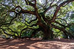 angel oak tree (lvphotos!) Tags: live oak tree angel southcarolina old 400 years johns island nature preserve big large massive