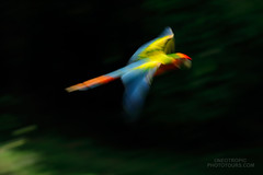 A blurry one... (www.NeotropicPhotoTours.com) Tags: macaw hybrid bird flying wildlife shutter speed neotropicphototours juancarlosvindas birdphotography wings colours harsh light playingwithcamerasettings ara ambigus macao