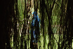 Chamaecyparis lawsoniana 'Imbricata Pendula' (basswulf) Tags: chamaecyparis chamaecyparislawsoniana imbricatapendula d40 50mmf18e lenstagged unmodified 32 image:ratio=32 camerasetting:aperture=f8 permissions:licence=c plantdb:family=pending 20180616 201806 3008x2000 rhs rosemoor rhsrosemoor devon england uk
