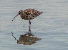 Reflections (chrisfay55) Tags: wadingbird lymington shore sea bird uk hampshire
