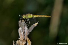 Libelle 2 (GerWi) Tags: libelle insekten insekt flugtier lumixfz1000 400mm natur nature tiere animals