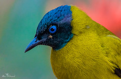 :: Black-Headed Bulbul / কালোমাথা বুলবুলি :: (:: Wildlife Birds ::) Tags: wild wildbirds wildbird birds forest jungle bangladesh bangladeshibird bangladeshibirds bangladeshiwildbirds black yellow red nikond7100 nikon wildlifephotography wildlifephotographyofbangladesh