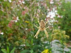 Garden safari, Kruisspin - Araneus diadematus (Alta alatis patent) Tags: kruisspin araneusdiadematus insect spider