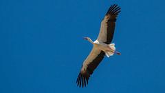 White stork (keynowski) Tags: whitestork leylek ciconiaciconia nature ngc animal animalplanet wild wildlife bird ornithology ornito 70d canon70d canon100400mmisii 4k 2160p