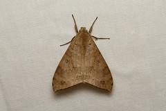 Erebidae sp. (Nick Dean1) Tags: animalia arthropoda arthropod hexapoda hexapod insect insecta lepidoptera moth isunga kibalenationalpark kibale uganda