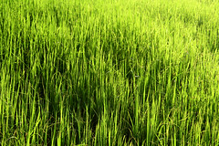 Green rice field (www.icon0.com) Tags: agriculture asia asian background brown cereal close country countryside crop cultivate cultivation culture detail drop dry earth economical economy farm farmland field flora foliage food golden grain grass green grow harvest hay leaves meadow nature plant plantation