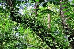 Long-hidden Memories (Michiale Schneider) Tags: tree leaves foliage green branch nature michialeschneiderphotography