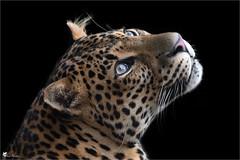 Panthère de Java (Pascal Photo Passion) Tags: felin animal fond noir gros plan tête regard