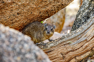 Rock Hyrax (In Explore)