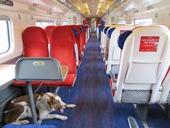 Virgin Bailey (deltrems) Tags: train rail railway car carriage virgin west coast mainline seats floor bailey pet dog welsh border collie