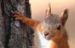 Écureuil roux (fauneetnature) Tags: écureuilroux écureuil squirrel mammifère animal animalier animaux animals