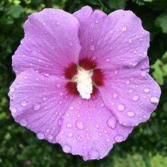 Raindrops on Rose of Sharon. (esywlkr) Tags: rain water roseofsharon pink nc nature flower haywoodcounty northcarolina