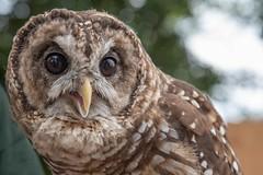Barred Owl (Josh Beasley) Tags: barredowl owl coosa rescue rehab alabamawildlifecenter awc gsp guntersvillestatepark education publicoutreach nikon tamron