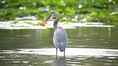 DSC_3614 (willy_chan88) Tags: great blue heron eating goldfish