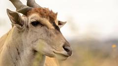 Nairobi-Nationalpark 09 (ovg2012) Tags: commoneland eland elenantilope kenia kenya nairobinationalpark safari