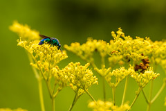 180819 Yakushiike Park-01.jpg (Bruce Batten) Tags: animals arthropods caprifoliaceae flowers honshu insects invertebrates japan machida parks plants reflections tokyo yakushiike