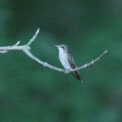 IMG_0268 (davekremitzki) Tags: lincoln memorial garden springfield illinois hummingbird