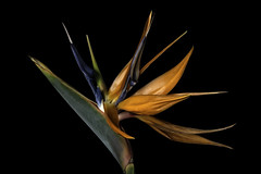 Bird Of Paradise Colors In The Light (Bill Gracey 20 Million Views) Tags: birdofparadise fleur flower flor color colorful green orange blue yellow tabletopphotography macrolens macrophotography floralphotography homestudio blackbackground yongnuo yongnuorf603n lakeside griddedsoftbox filllight sidelighting shadows textures