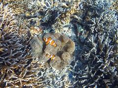 Pez payaso (jlmontes) Tags: peces pacifico sea mar fondomarino pezpayaso filipinas coral gopro