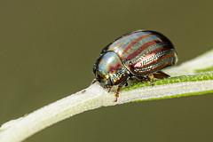 Chrysolina americana (Jaume Bobet) Tags: chrysolina americana coleeoptera chrysomelidae escarabajo insecto macro bobet canon sigma