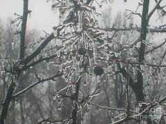 Ice drips (Aliceheartphoto) Tags: water ice winter cold coldweather cincinnatiphotography cincinnati ohio sony cybershot trees naturephotography nature icicle frozenwater season frigid
