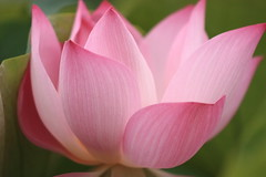 IMG_2854M Lotus (陳炯垣) Tags: blooming flower petal foral blossom lotus nature ハス