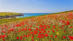 Cornish Poppies (Explore) (Twogiantscoops) Tags: weeds explored mostinteresting explore marigold newquay seabreeze clifftop arable bowgie