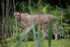Catwalk (carlo612001) Tags: ghepardo cheetah beauty charming bigcats big five bigfive predators