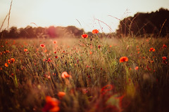 live in the moment (thethomsn) Tags: moment sundown sunrise poppies poppy flowers field countryside grass nature beautiful simple dof flare backlight bokeh canon 6dmk2 50mm thethomsn summer light red green