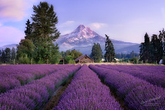 Purple Mountains Majesty (Gary Randall) Tags: gar78822 oregon hoodriver mounthood mthood lavendervalley lavender farm flowers leadinglines purple landscape landscapes