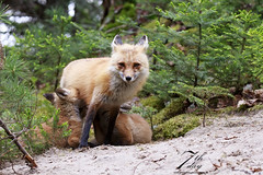 Lunch time (Seventh day photography.ca) Tags: redfox fox vixen kit young animal wildanimal wildlife mammal nature chrismacdonald seventhdayphotography ontario canada