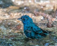 Splish Splash... (ragtops2000) Tags: bird migrating bunting indigo male water bath splash blue colorful small
