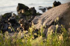 猫 (fumi*23) Tags: ilce7rm3 sony a7r3 emount 55mm sonnartfe55mmf18za sel55f18z cat chat katze gato neko feline animal kagoshima travel sakurajima sea seaside ねこ 猫 ソニー sonnar zeiss 鹿児島