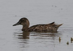 Garganey (Anas querquedula) (MarkWalpole) Tags: garganey anasquerquedula saltholme rspb duck uk philsteadhide canoneos7dmarkii ef400mmf56lusm