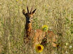 A surprise meeting (sunset1uk) Tags: roedeer stag deer hove eastsussex englanduk southdowns